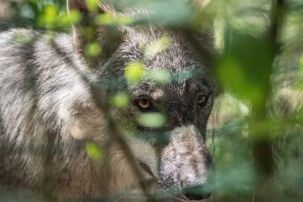 Учёные впервые засняли на камеру один день из жизни дикого волка