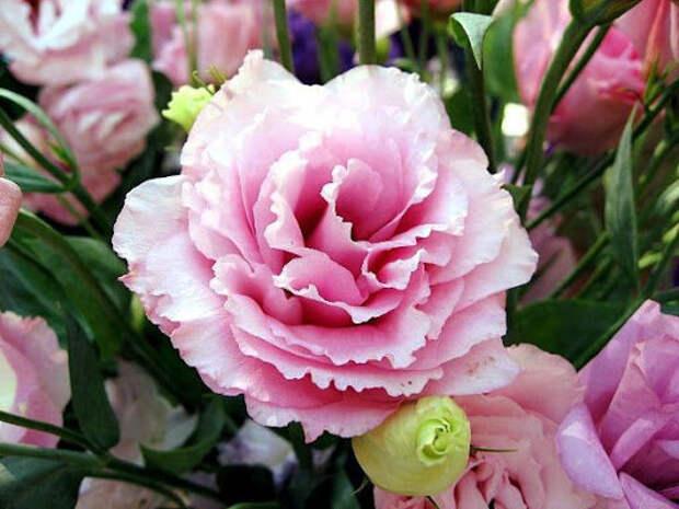 Каждый год обрабатываю почву этими подкормками и получаю роскошные розы с большими и красивыми бутонами