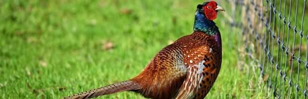 В Нур-Султане появился фазанарий на 2000 птиц