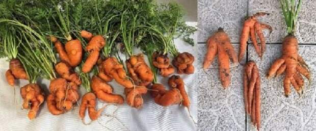 Морковь кривая
