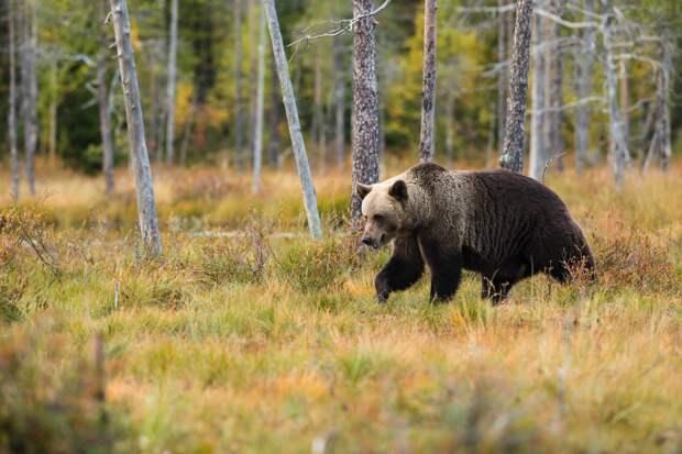 Медведь заявился в гости к жителям Малопургинского района