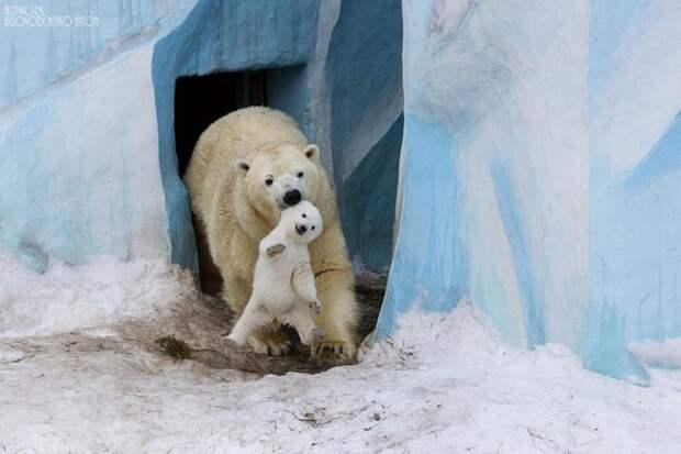 родители животные с их детенышами  белые медведи