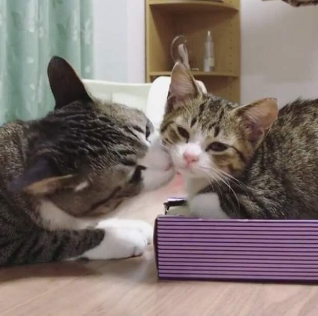 Два дружных кота, спасенных от усыпления и похожих друг на друга как братья