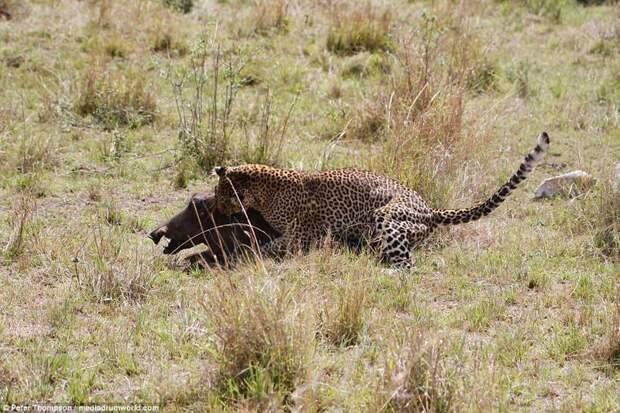 Теперь вырваться нет уже ни единого шанса битва животных, бородавочник, заповедник, кения, леопард, масаи-мара, самка, схватка