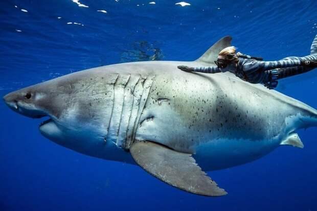 """Вид обеих """"девушек"""" в профиль... Великая Белая Акула, акула, наука"""