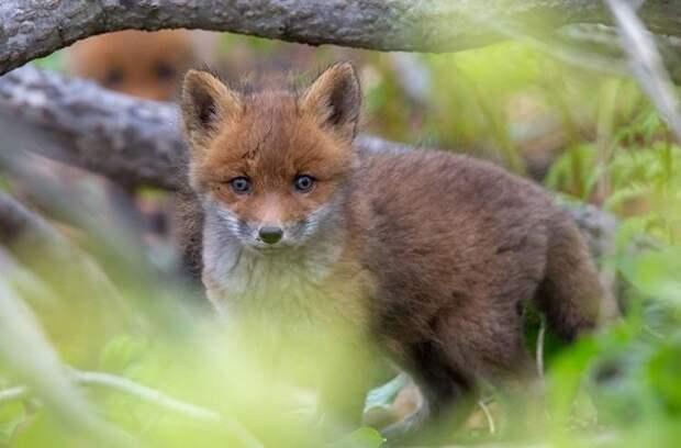 В парке «Москворецкий» начали вакцинировать лис от бешенства