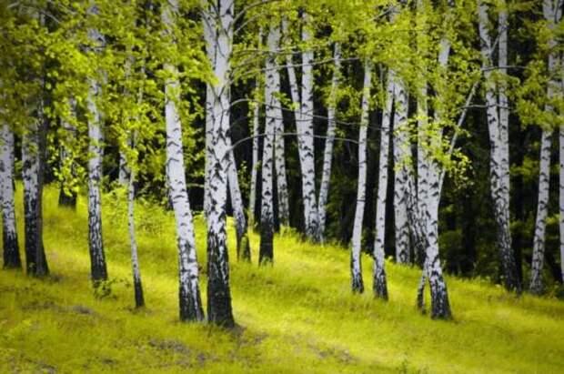 Ведьмино дерево — почему только у березы белый ствол и зачем на нем черные плоски (4 фото)