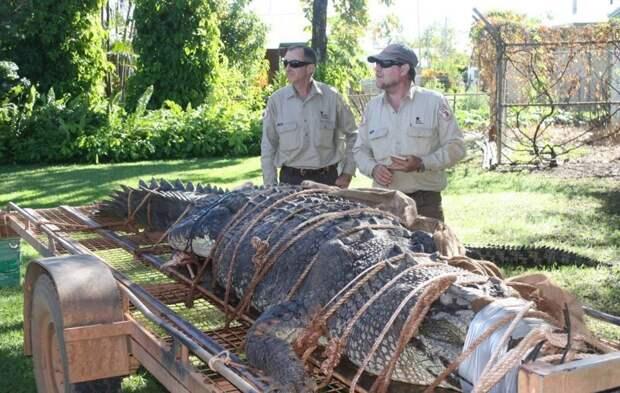 Крокодил весом в 600 кг стал крупнейшим уловом рейнджеров Северной территории Северная территория, австралия, животные, крокодил, охота, река, хищник