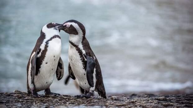 Будни нидерландского зоопарка: пингвины-геи украли яйцо упингвинов-лесбиянок