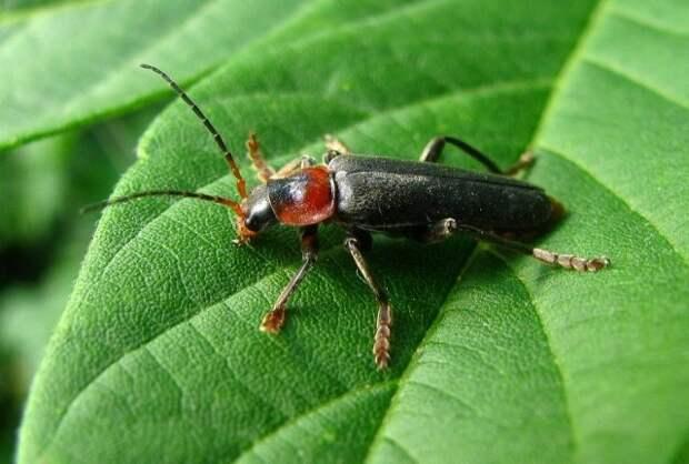 Жуки, которых не стоит истреблять в саду, огороде и на цветах