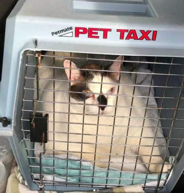 Хозяева предали 18-килограммового Барсика, но толстяк не унывал  история, история спасения, коты, кошки, приют, толстый кот