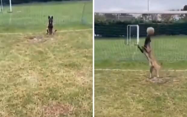 Идеальный футболист: пес защитил ворота не хуже профессионального вратаря