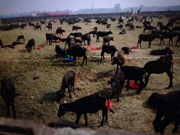 https://360tv.ru/media/uploads/article_images/2018/07/7312_Gadhimai.jpg