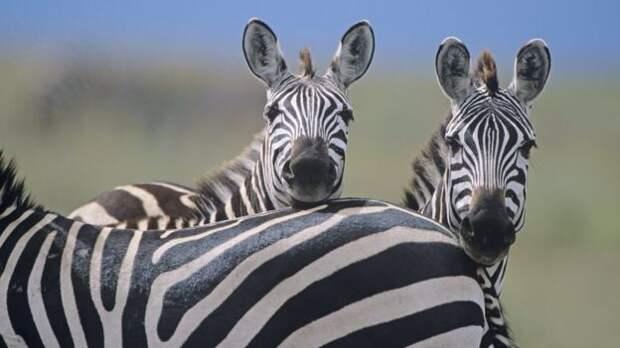 Британские ученые рассказали, зачем зебрам полоски