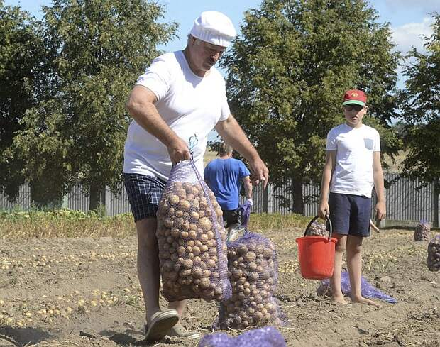 2015 год, президент Лукашенко с сыном Колей на уборке картошки.