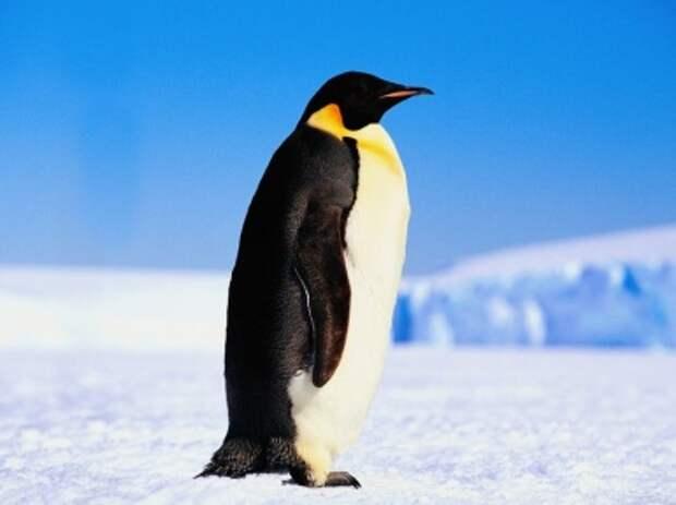 Императорский пингвин. Описание и образ жизни императорского пингвина