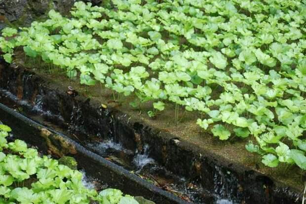 Плантация васаби. \ Фото: aminoapps.com.