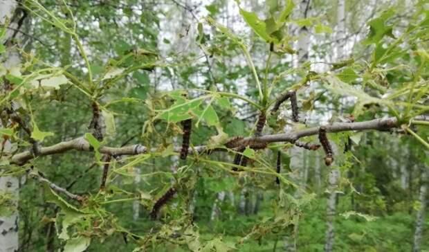 Минлесхоз Башкирии прокомментировал гибель пчел из-за обработки лесов от шелкопряда