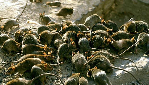 Даже при массовом нашествии крыс они не нападают на людей, чтобы загрызть до смерти и съесть.