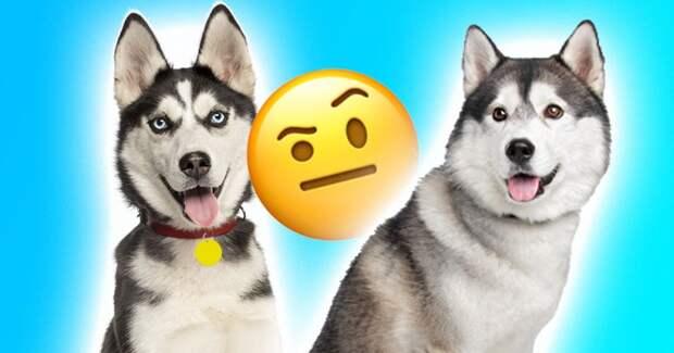 Тест: Проверь, сможешь ли ты различить эти 12 похожих пород собак?