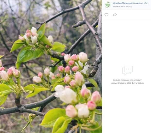 В парке «Северное Тушино» расцвели яблони