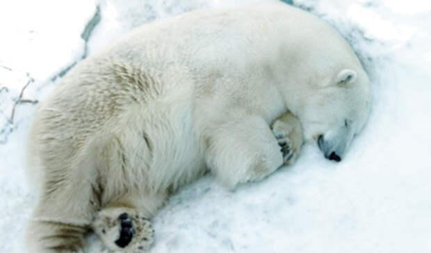 Взоопарке Екатеринбурга из-за детской игрушки погиб белый медведь Умка