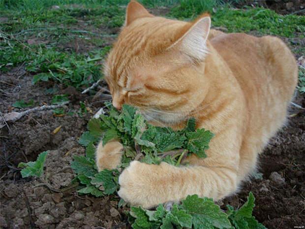 Огородница животные, забавно, изменение сознания, кошачья мята, кошки, растения, смешно, фото