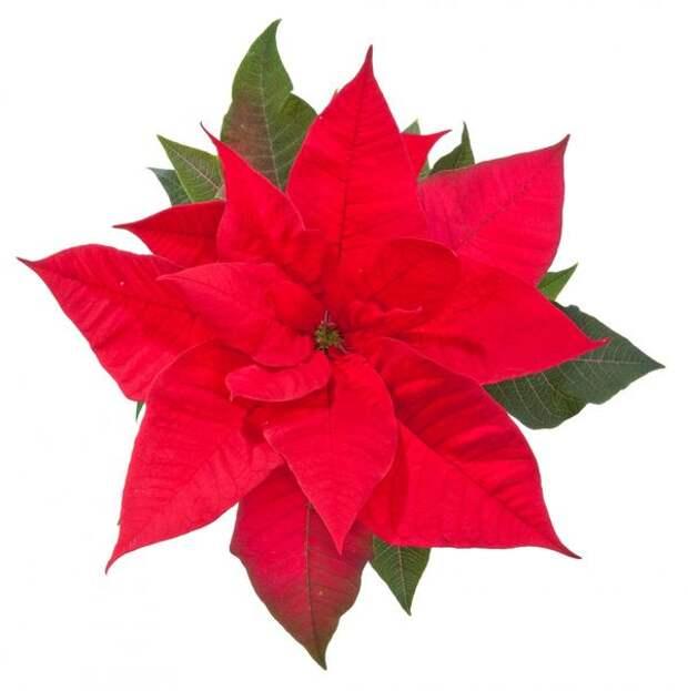 Пуансеттия - рождественская звезда