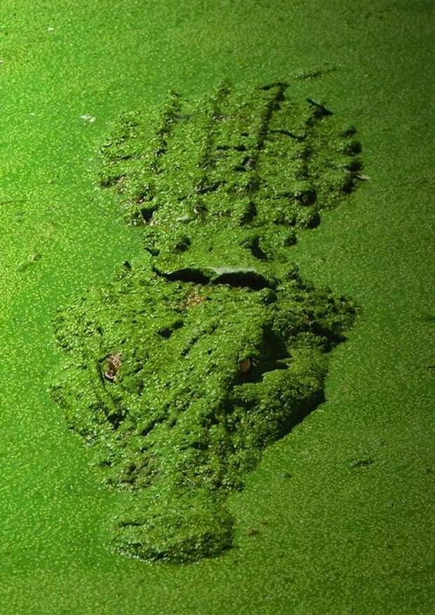 Чтобы помочь своему желудку справиться с большими кусками еды, крокодилы заглатывают камни. Кроме того, данные валуны играют роль балласта при погружении на глубину. аллигатор, интересное, крокодил, природа, факты, фауна