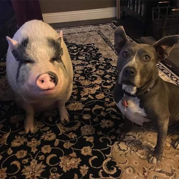 Похлёбка отлично дружит со своими собачьими друзьями Похлебка, домашний питомец, животные, милота, свинья, собаки