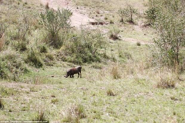 Бородавочник все еще ничего не подозревает битва животных, бородавочник, заповедник, кения, леопард, масаи-мара, самка, схватка