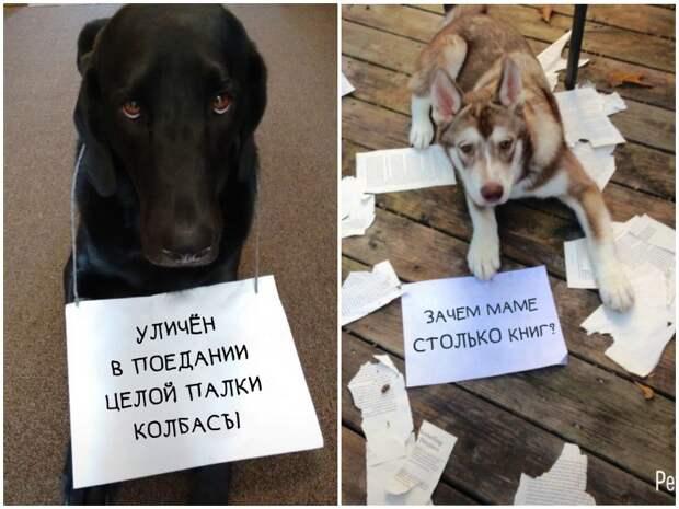 15 собак, которые провинились и ни капли не стыдятся содеянного забавно, забавные животные, истории, питомцы, собаки, фото, хозяева