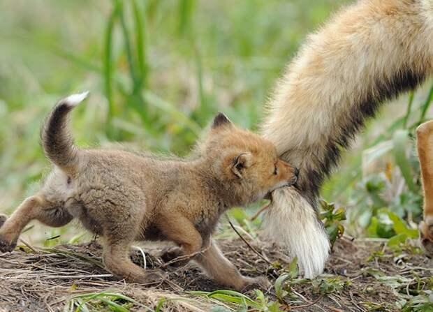 родители животные с их детенышами  лиса