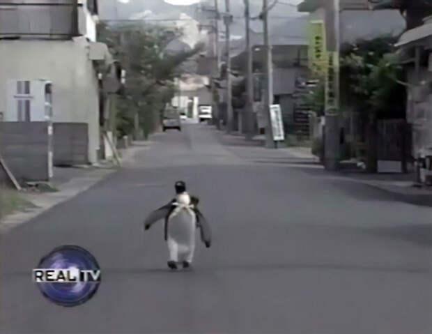 Пингвин Лала, уверенной походкой ходила покупать себе рыбу в магазин