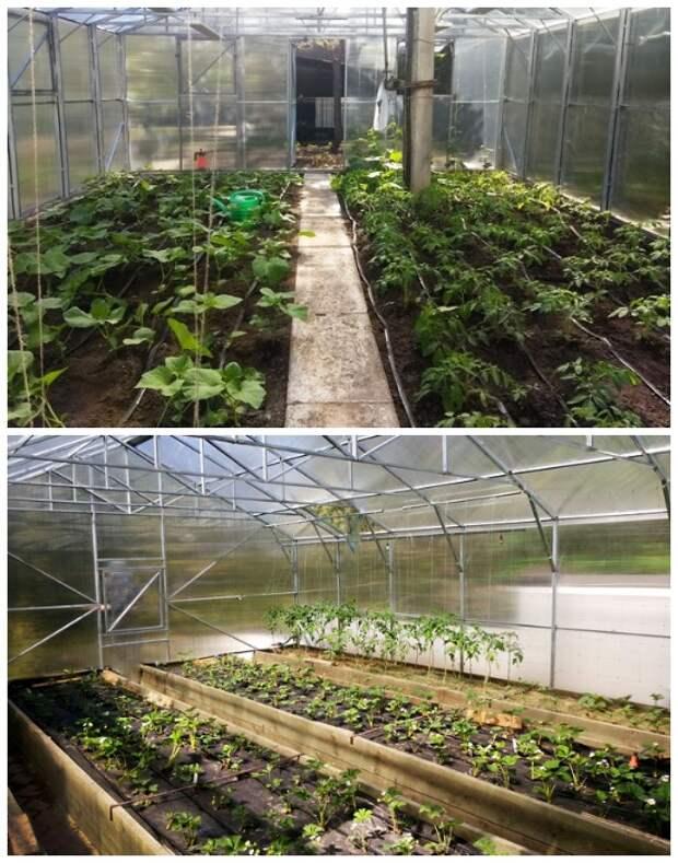 Растения в теплице могут быть высажены непосредственно в грунт или на обустроенных грядках.