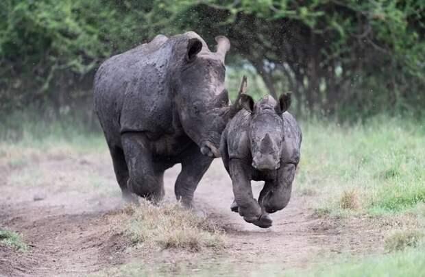 Носороги могут летать: благодаря своей смелости фотограф получил уникальные кадры