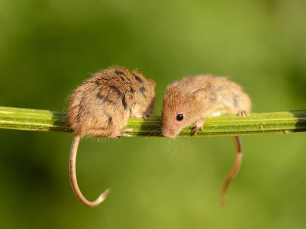Милые мышки-малютки в объективе