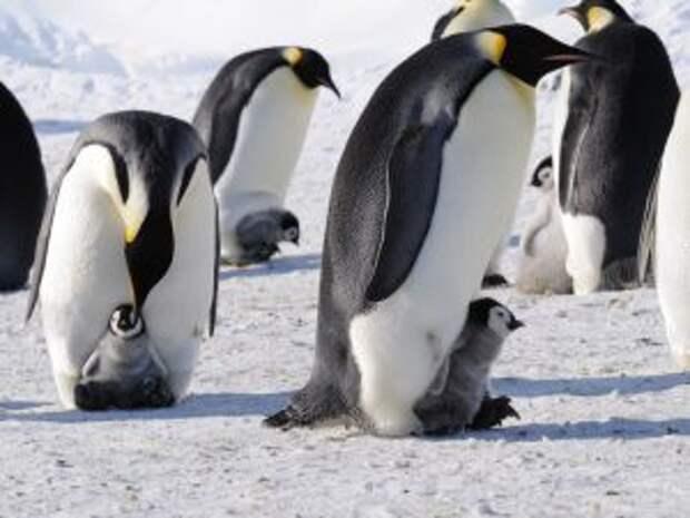 Кроха пингвин