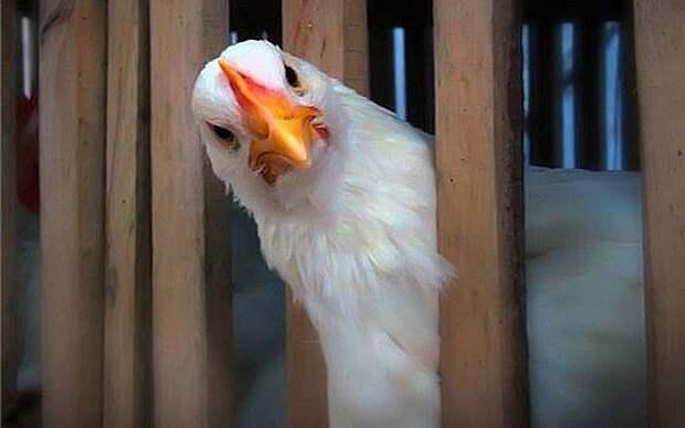 Картинки по запросу удивленная курица