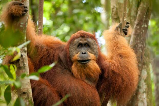 Фото орангутана