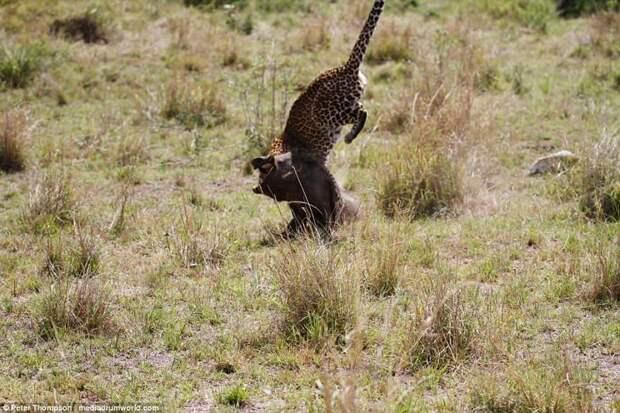 Это конец битва животных, бородавочник, заповедник, кения, леопард, масаи-мара, самка, схватка