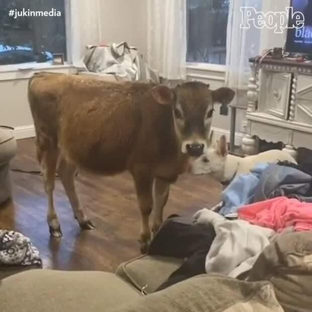 Когда лучшим другом вашего пса становится корова