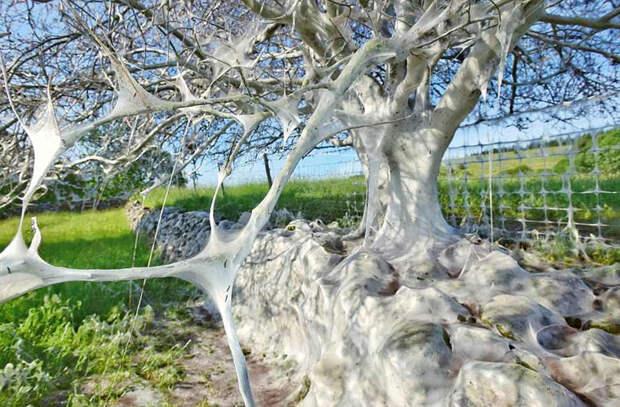 Гусеницы в Британии создали «призрачное» дерево