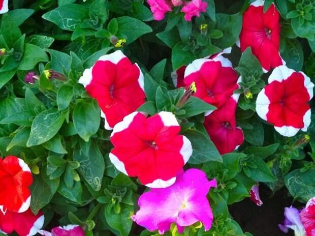 Среди множества сортов петунии каждый любитель этого цветка сможет найти свой
