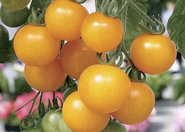 Картинки по запросу желтые помидоры