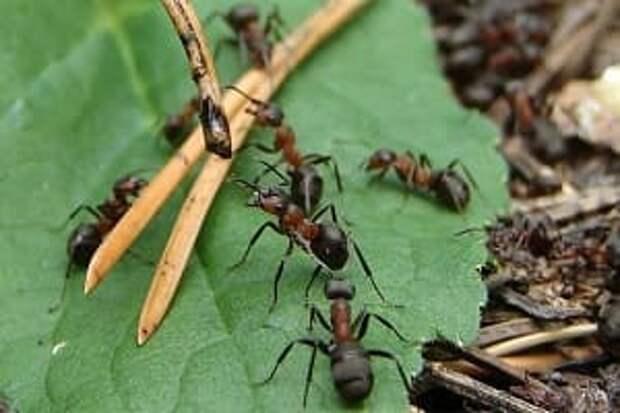 Простой способ избавиться от муравейника на участке. Берём на заметку!