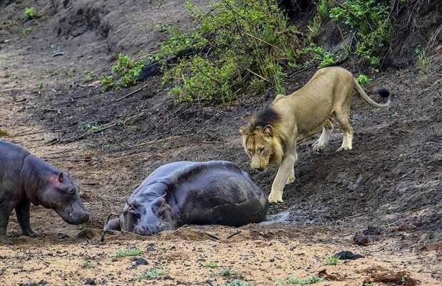 Храбрый бегемотик защищал маму от голодного льва бегемоты, животные, львы