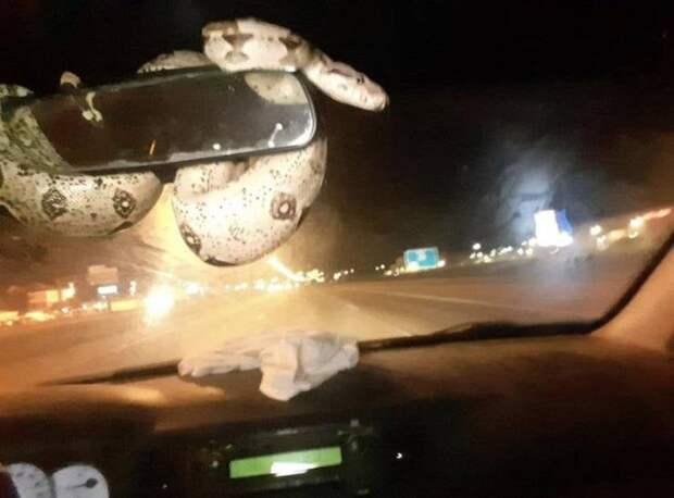 Змея в автомобиле