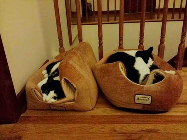 Эти двое почти поняли, как правильно использовать кошачью кровать. интересное, кошки, фотографии