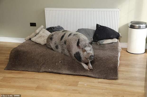 свинья на кровати